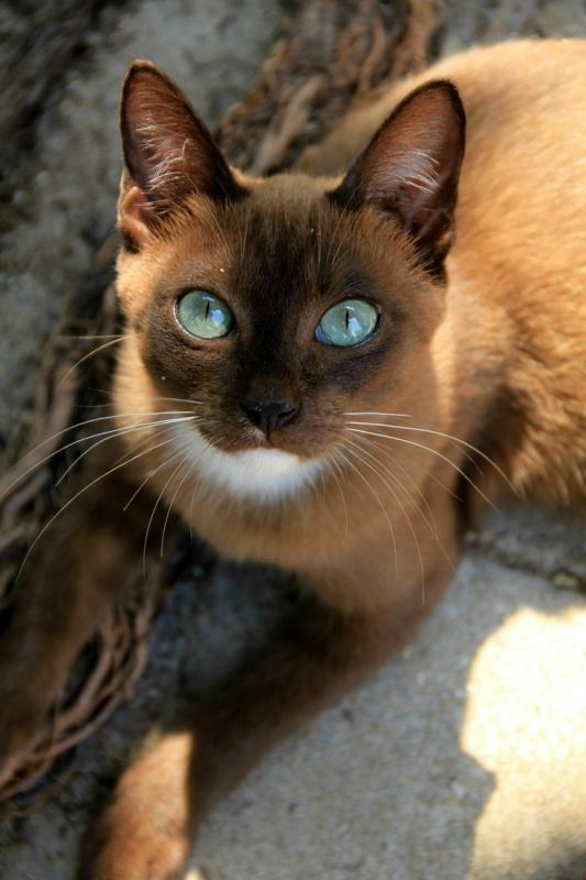 Cats-From-Thailand-Include-Siamese-Korat-Burmese-Tonkinese-And-Another-Great-Breed-Not-Yet-Recognized-In-The-West-The-Khao-Manee